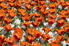 De bloemen van de lente in Nederland royalty-vrije stock afbeelding