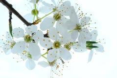 De bloemen van de lente op boom Stock Fotografie