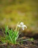 De Bloemen van de lente - Sneeuwklokjes Royalty-vrije Stock Foto's