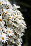 De bloemen van de lente in tuin 1 Stock Afbeeldingen
