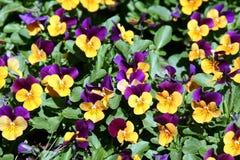 De bloemen van de lente in tuin 1 Stock Foto's