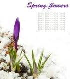 De bloemen van de lente, wit-donkere blauwe krokussen Royalty-vrije Stock Fotografie