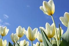 De bloemen van de lente - witte tulpen Royalty-vrije Stock Afbeeldingen