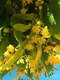 De bloemen van de linde Stock Foto