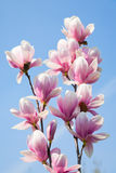 De bloemen van de magnolia royalty-vrije stock foto's