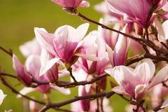 De bloemen van de magnolia stock fotografie