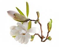 De Bloemen van de magnolia stock foto