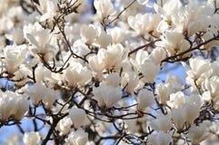 De Bloemen van de magnolia Royalty-vrije Stock Afbeeldingen
