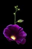 De bloemen van de malve Stock Afbeelding