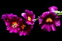 De bloemen van de malve Royalty-vrije Stock Foto's
