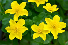 De bloemen van de moerasgoudsbloem Stock Fotografie
