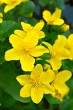 De bloemen van de moerasgoudsbloem Stock Foto
