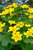 De bloemen van de moerasgoudsbloem Royalty-vrije Stock Afbeeldingen