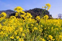 De Bloemen van de mosterd Stock Afbeelding