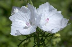 De bloemen van de muskusmalve Stock Foto