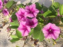 De bloemen van de ochtendglorie Royalty-vrije Stock Foto