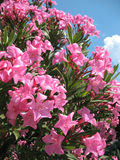 De bloemen van de oleander Stock Afbeeldingen