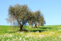 De bloemen van de olijf Stock Afbeelding
