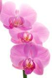 De bloemen van de orchidee Royalty-vrije Stock Afbeeldingen