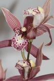 De Bloemen van de orchidee Stock Afbeeldingen