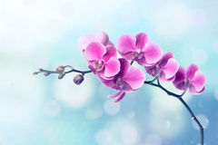 De bloemen van de orchidee op vage blauwe achtergrond Royalty-vrije Stock Foto