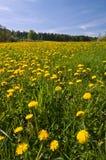De Bloemen van de paardebloem Stock Foto's