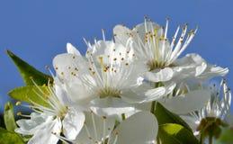 De bloemen van de pandstruik Stock Foto