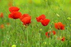 De bloemen van de papaver Stock Afbeelding