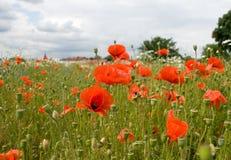 De bloemen van de papaver royalty-vrije stock afbeelding