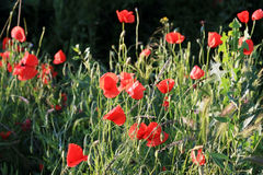 De bloemen van de papaver Royalty-vrije Stock Fotografie