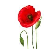 De bloemen van de papaver Royalty-vrije Stock Foto