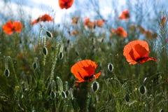 De bloemen van de papaver Stock Fotografie