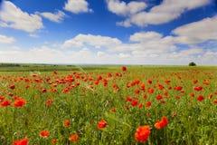 De bloemen van de papaver tegen de blauwe hemel/de zomerweide Stock Afbeelding