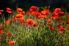De Bloemen van de Papaver van het graan stock foto's