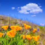 De bloemen van de papaverspapaver in sinaasappel in Californië springen gebieden op Royalty-vrije Stock Afbeelding