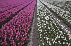 De bloemen van de patroontulp in de lente Royalty-vrije Stock Afbeelding