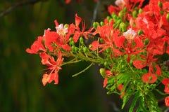 De bloemen van de pauw Stock Afbeeldingen
