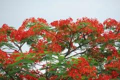 De bloemen van de pauw Stock Foto's