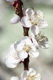 De bloemen van de perzik. Stock Afbeelding