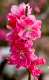 De bloemen van de perzik Stock Foto's