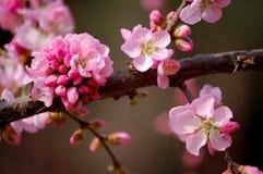 De bloemen van de perzik Stock Fotografie