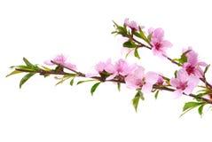 De bloemen van de perzik Stock Afbeeldingen