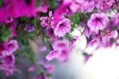De Bloemen van de petunia Stock Afbeeldingen