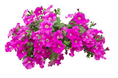 De bloemen van de petunia Stock Foto's