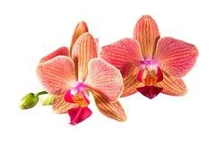 De bloemen van de Phalaenopsisorchidee Royalty-vrije Stock Fotografie