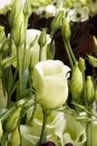 De bloemen van de pioen royalty-vrije stock foto's