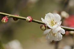 De bloemen van de pruim Royalty-vrije Stock Foto's