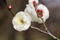 De bloemen van de pruim Royalty-vrije Stock Afbeelding