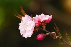 De bloemen van de pruim Stock Foto's
