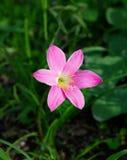De bloemen & x28 van de regenlelie; ZEPHYRANTHES PLANT& x29; in Thailand Royalty-vrije Stock Afbeelding